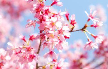 華やかな桜