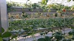 伊豆フルーツパークのいちご