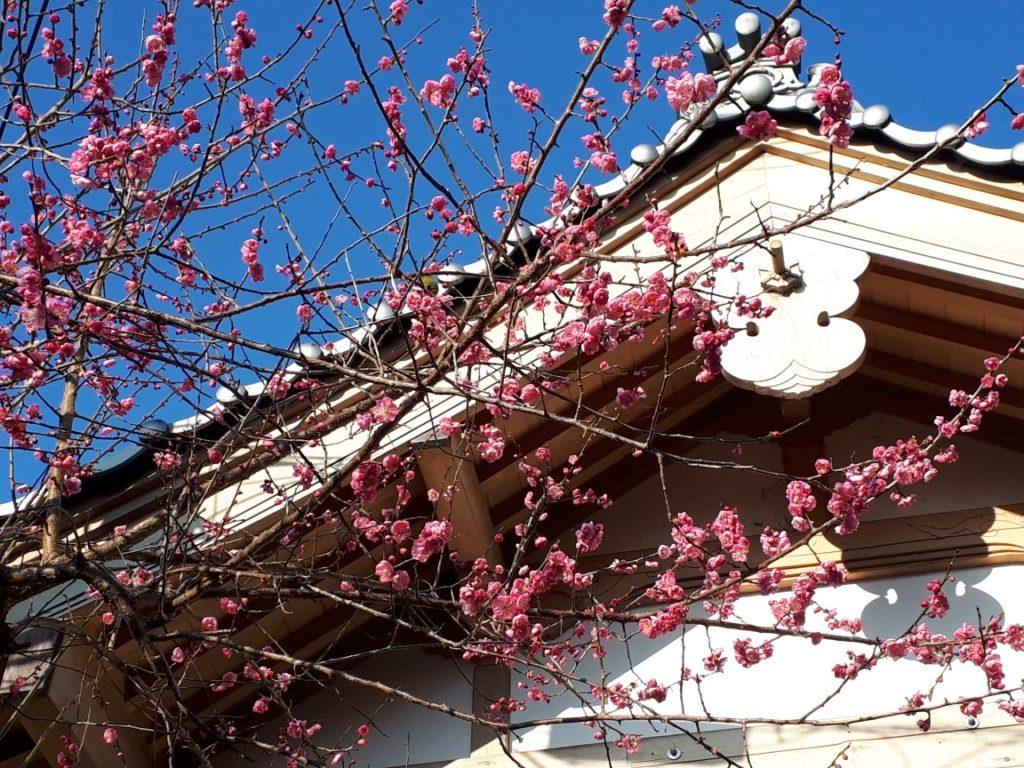 2020年2月4日に撮影した濃いピンク色の梅の花