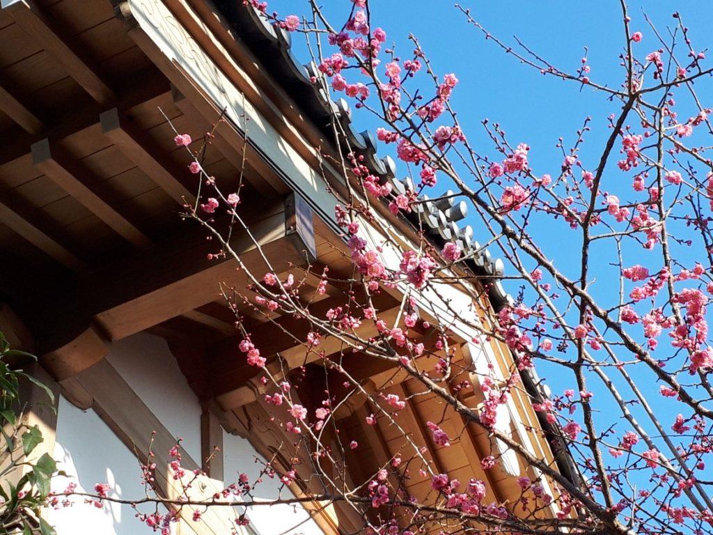 2020年4月に神社で撮影した濃いピンク色の梅の花