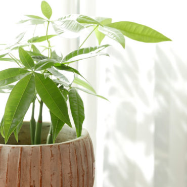 パキラ_観葉植物